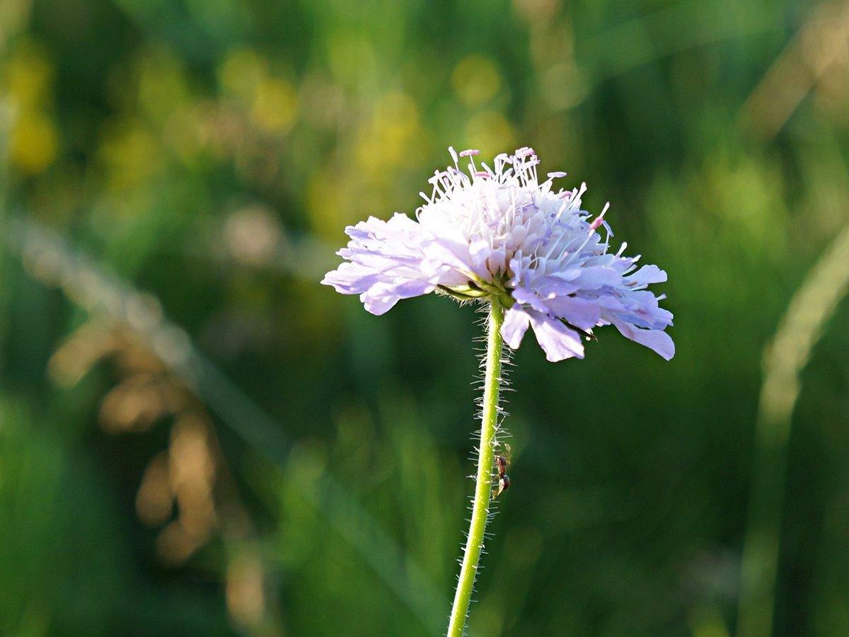 Цветок короставника полевого (Knautia arvensis).