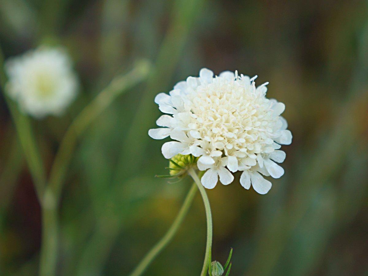 Иногда короставник можно спутать со скабиозой бледно-желтой (Scabiosa ochroleuca).