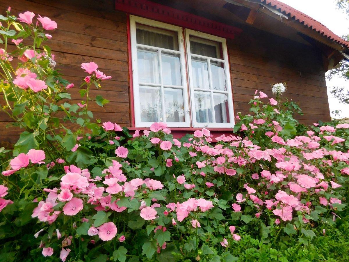 dikaya-roza-foto-vidy-i-sorta-lavatery-razmnozhenie-i-uhod-3