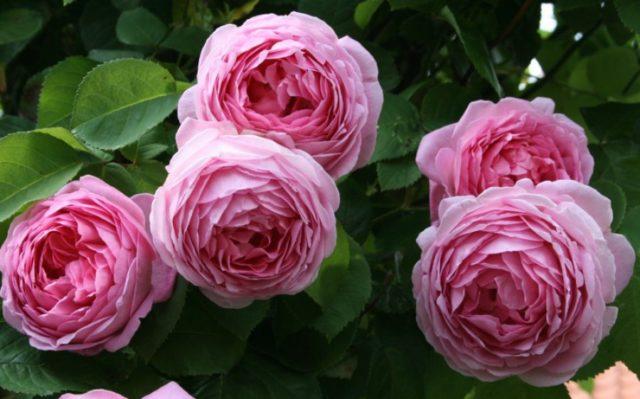 pionovidnaya-roza-izyskannoe-rastenie-ne-trebuyushhee-osobogo-uhoda-1