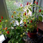 Перец на подоконнике: как продлить плодоношение декоративного перца