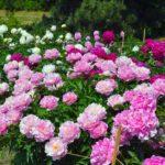 Пионы: как правильно ухаживать и с чем лучше всего сочетать на клумбе в саду?