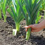 Лук порей: фото, видео, посадка и уход, сбор и хранение урожая