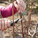 Подготовка винограда к зиме: правила черенкования