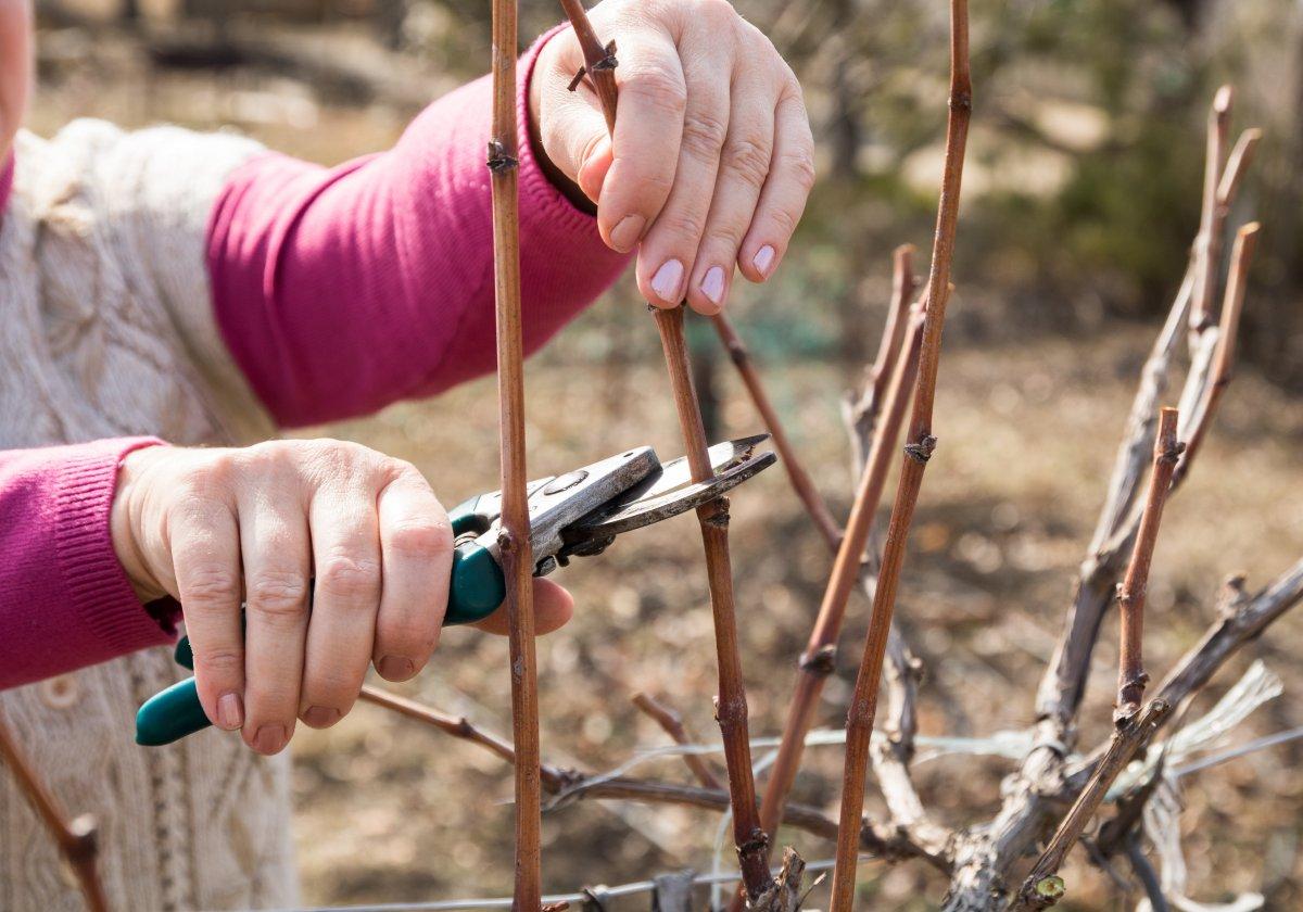 podgotovka-vinograda-k-zime-pravila-cherenkovaniya-1