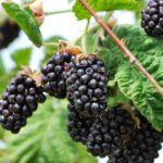 Ежемалина: фото, лучшие сорта, особенности выращивания