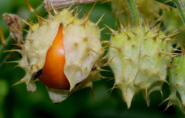 kolyuchij-pomidor-foto-opisanie-lichi-osobennosti-vyrashhivaniya-v-srednej-polose-9