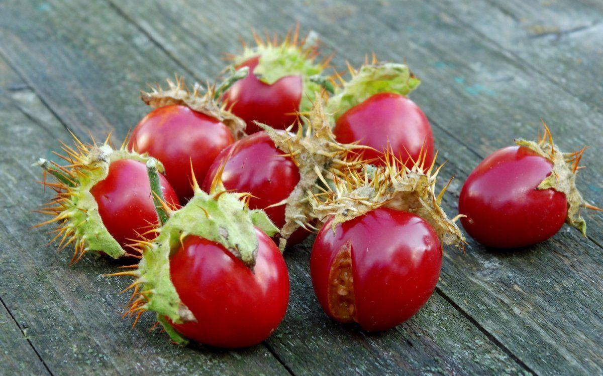 kolyuchij-pomidor-foto-opisanie-lichi-osobennosti-vyrashhivaniya-v-srednej-polose-5