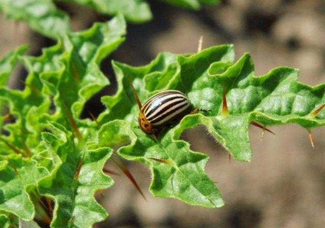 kolyuchij-pomidor-foto-opisanie-lichi-osobennosti-vyrashhivaniya-v-srednej-polose-21