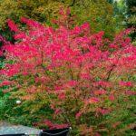 Декоративные кустарники цветущие осенью: фото и описание растений