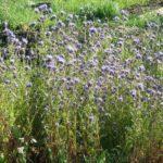 Cидераты: как используются, какие сеять осенью, под зиму, весной, в теплице