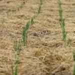 Какой лук посадить под зиму: выбор сортов, сроки и особенности посадки озимого лука