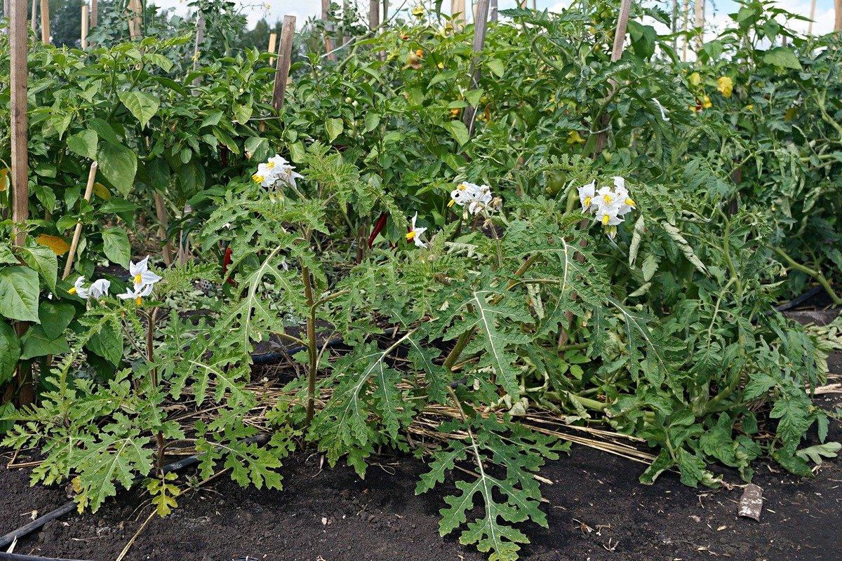 kolyuchij-pomidor-foto-opisanie-lichi-osobennosti-vyrashhivaniya-v-srednej-polose-2