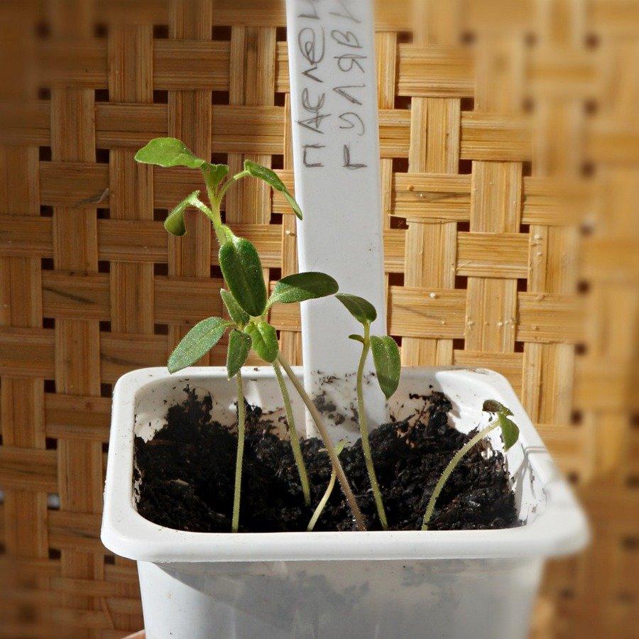 kolyuchij-pomidor-foto-opisanie-lichi-osobennosti-vyrashhivaniya-v-srednej-polose-13