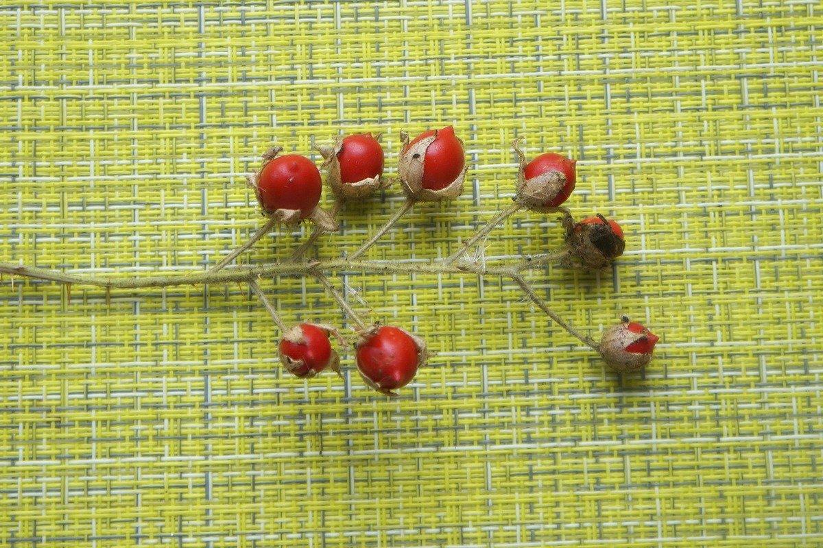 kolyuchij-pomidor-foto-opisanie-lichi-osobennosti-vyrashhivaniya-v-srednej-polose-8