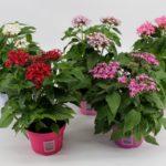 Цветок пентас: фото, описание, выращивание и уход в домашних условиях