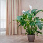Спатифиллум: уход в домашних условиях, проблемы при выращивании