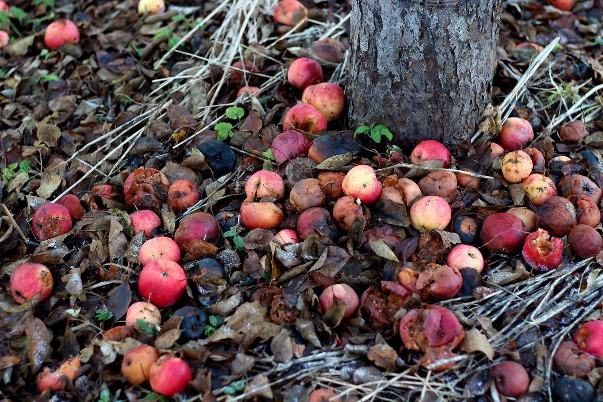 uhod-za-plodovymi-derevyami-osenyu-pravila-uhoda-za-plodovym-sadom-3