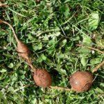 Апиос: фото, как выращивать и использовать клубневую глицинию