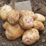 Сорта картофеля: фото, описание, преимущества и недостатки сорта
