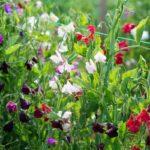 Душистый горошек: лучшие сорта, посев и уход в открытом грунте