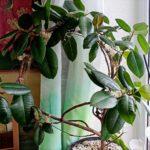 Фикус эластика: фото, описание, размножение и уход в домашних условиях