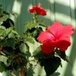 Гибискус комнатный: фото, проблемы в выращивании, уход в домашних условиях