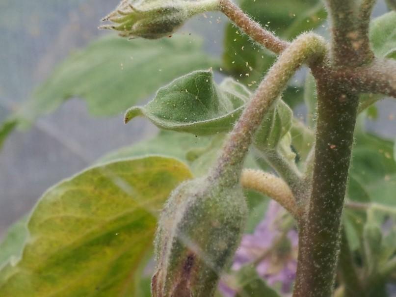 mery-borby-s-pautinnym-kleshhom-agrotehnicheskie-himicheskie-biologicheskie-2