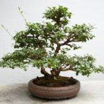 Бирючина китайская: фото, выращивание в домашних условиях