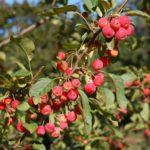 Выращивание мелкоплодных яблонь: выбор саженцев, посадка и уход