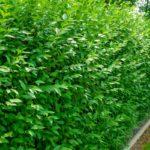 Бирючина: фото, описание, условия выращивания, уход за живой изгородью