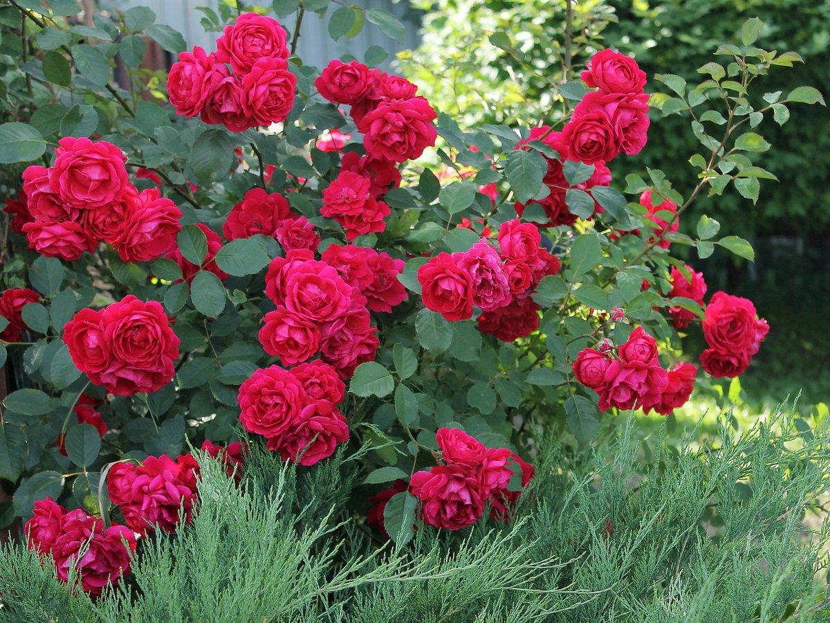 roza-pletistaya-foto-opisanie-i-harakteristiki-sortov-1
