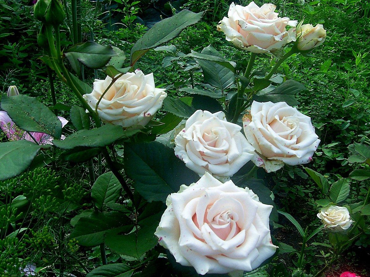 roza-pletistaya-foto-opisanie-i-harakteristiki-sortov-12