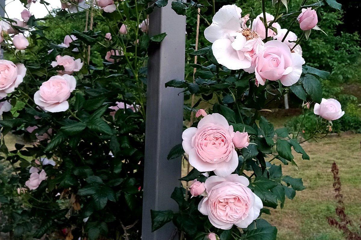 roza-pletistaya-foto-opisanie-i-harakteristiki-sortov-2