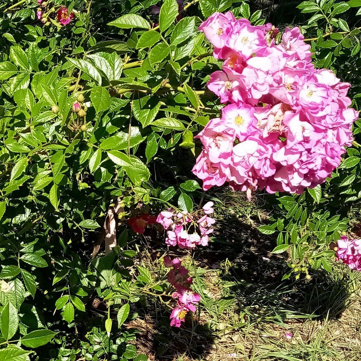 roza-pletistaya-foto-opisanie-i-harakteristiki-sortov-3