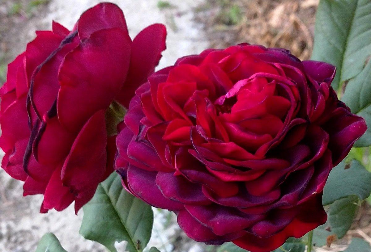 roza-pletistaya-foto-opisanie-i-harakteristiki-sortov-4