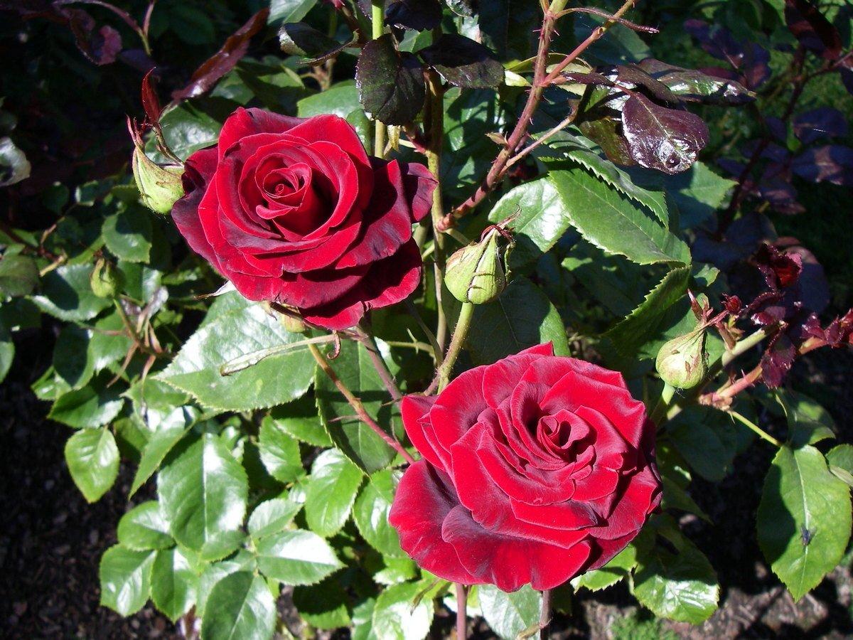 roza-pletistaya-foto-opisanie-i-harakteristiki-sortov-11
