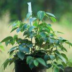 Чёрный перец: фото, описание, выращивание в домашних условиях