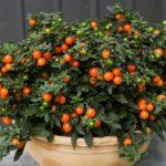Соланум: фото, описание, размножение и выращивание комнатного паслена