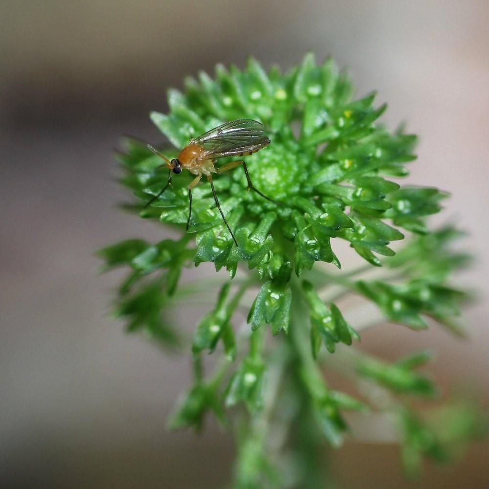 gribnoj-komarik-foto-kak-vyglyadit-kak-izbavitsya-ekologichnye-sposoby-2