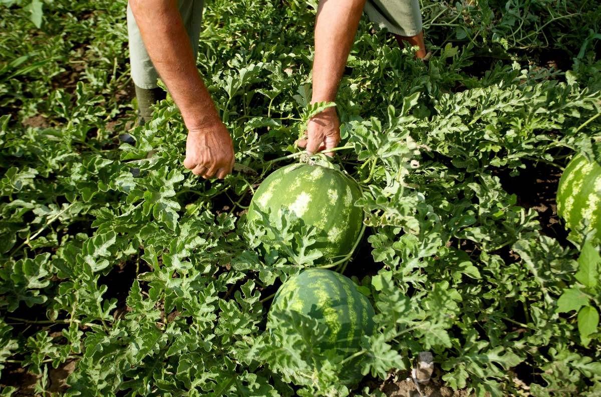 kak-vyrastit-sladkij-arbuz-pravila-vyrashhivaniya-arbuza-v-otkrytom-grunte-5