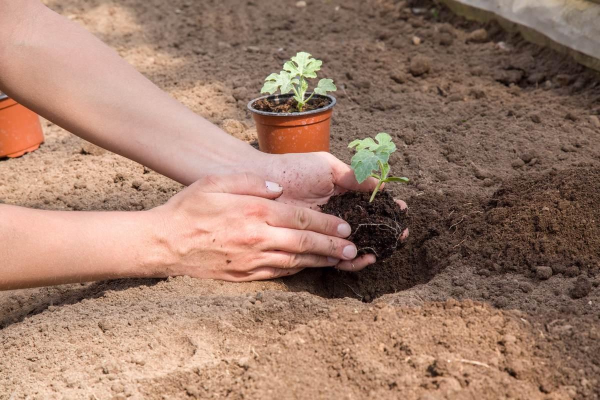 kak-vyrastit-sladkij-arbuz-pravila-vyrashhivaniya-arbuza-v-otkrytom-grunte-3