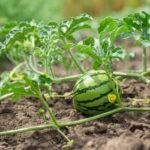 Как вырастить сладкий арбуз: правила выращивания арбуза в открытом грунте