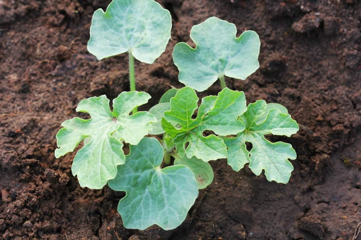 kak-vyrastit-sladkij-arbuz-pravila-vyrashhivaniya-arbuza-v-otkrytom-grunte-4