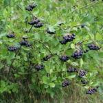 Черноплодная рябина: фото, описание, полезные свойства, посадка и уход