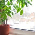 Каштаноспермум: как вырастить комнатный каштан в домашних условиях