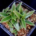 Цветок цианотис: фото, описание, виды, уход в домашних условиях