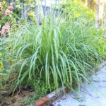 Лемонграсс: фото, описание, условия выращивания, посадка и уход
