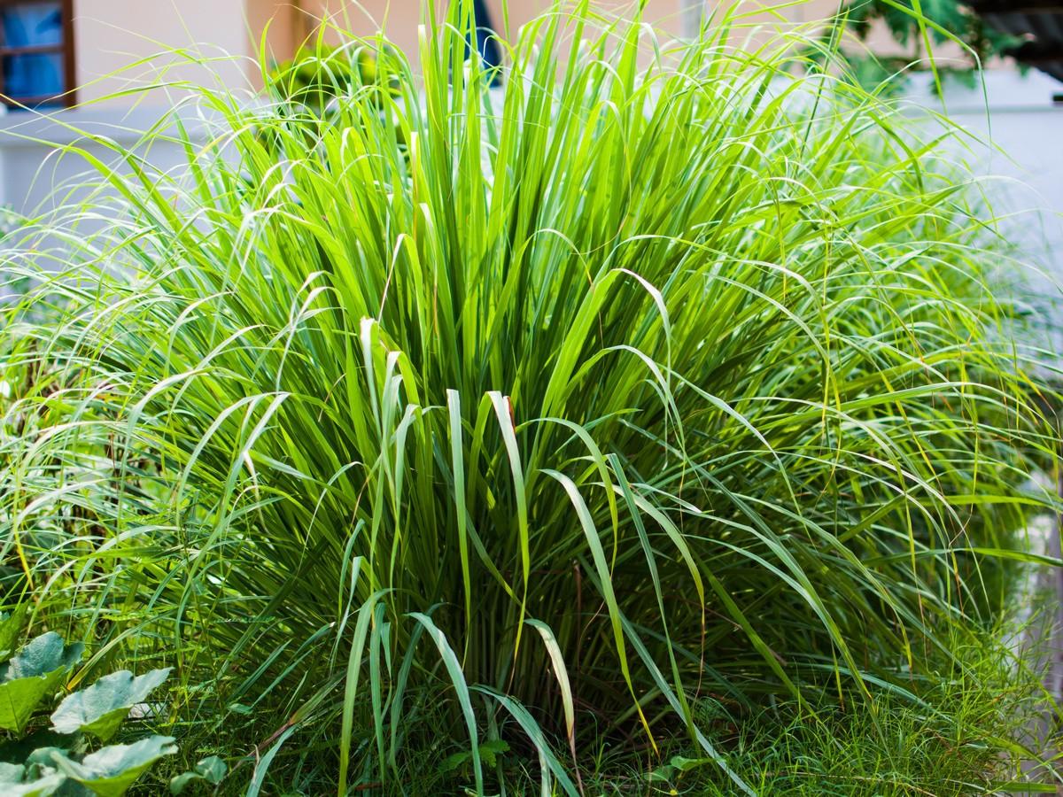 lemongrass-foto-opisanie-usloviya-vyrashhivaniya-posadka-i-uhod-2