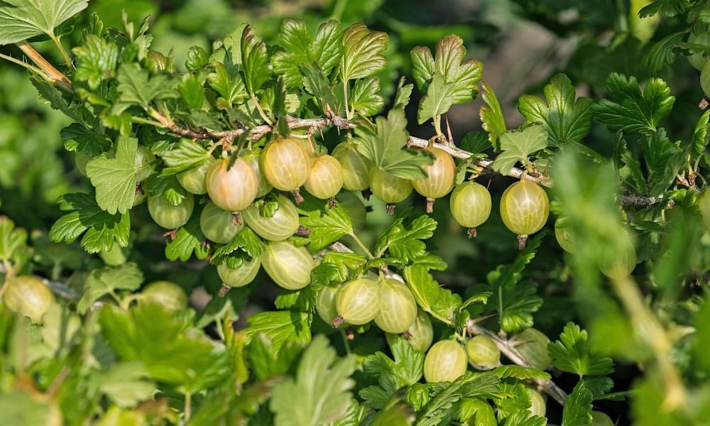luchshie-plodovye-kustarniki-dlya-vashego-sada-5